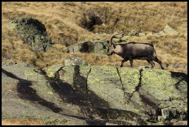 Macho caminando sobre rocas (31-10-2014)