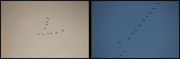 Grullas a la izquierda y gansos a la derecha (1 y 2-11-2014)