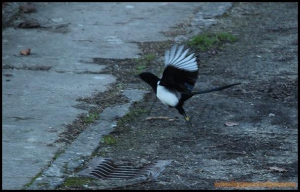 Picaraza anillada en vuelo (29-12-2014)