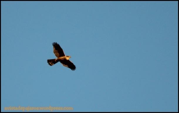 Azor joven en pleno vuelo (10-12-2014)