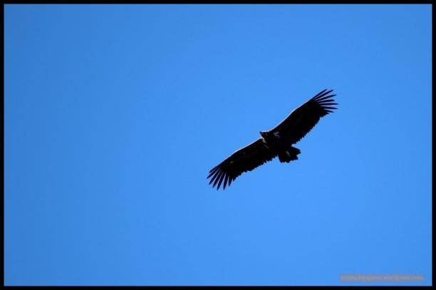 Buitre negro en vuelo (8-12-2014)