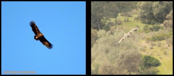 Buitre negro a la izquierda e imperial a la derecha (7-12-2014)