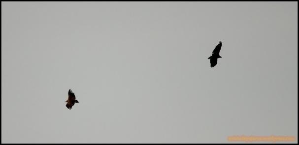 PAreja de buitres negros (9-12-2014)