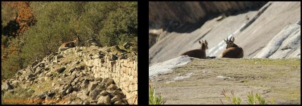 Cabras monteses (10-12-2014)