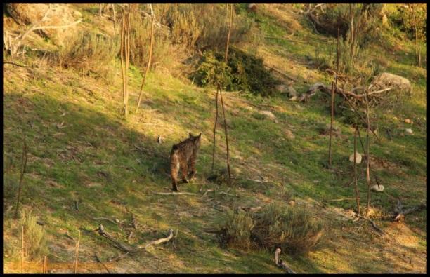 Lince caminando (3-12-2014)