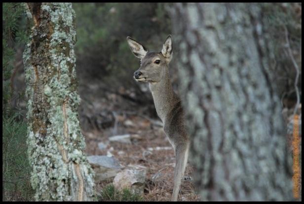 Cierva entre pinos (12-12-2014)