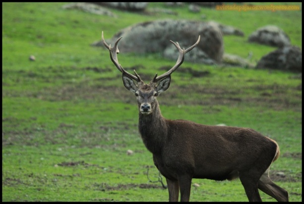 Macho de ciervo (2-12-2014)