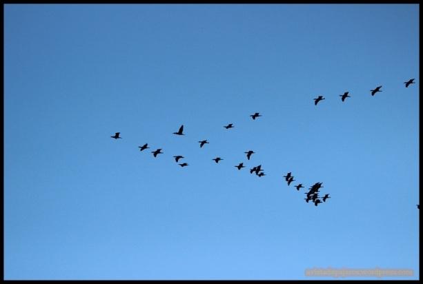 Cormoranes en vuelo (5-12-2014)