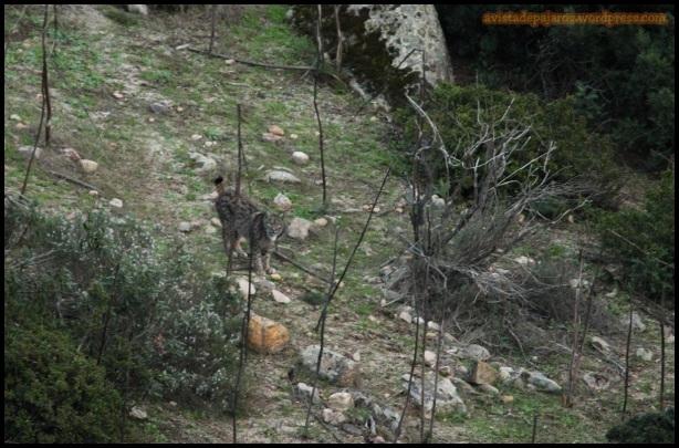 Lince en la zona baja del valle (2-12-2014)