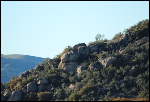 Lince en lo alto de unas rocas (8-12-2014)