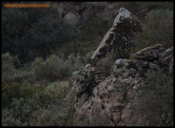 Tercer lince ya casi sin luz (3-12-2014)