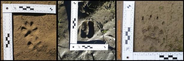 Huella de cánido, ciervo y tejón (5, 10 y 12-12-2014)