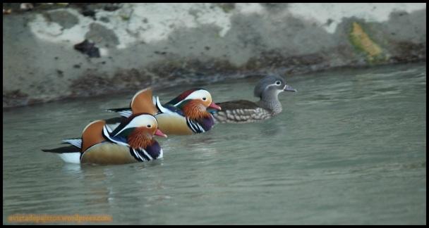 Mandarines nadando (22-12-2014)