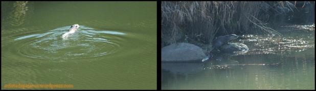 Nutria en el agua y fuera (6-12-2014)