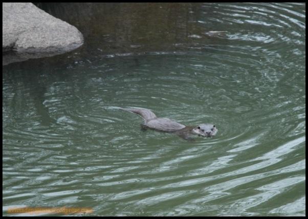 Nutria en el agua (6-12-2014)