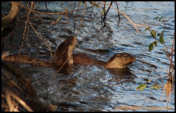 Nutrias en el agua (6-12-2014)