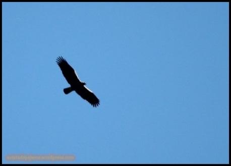 Silueta de águila imperial (10-12-2014)