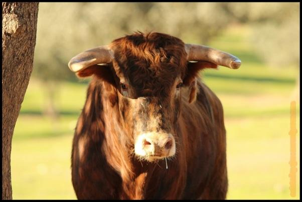Retrato de toro (10-12-2014)