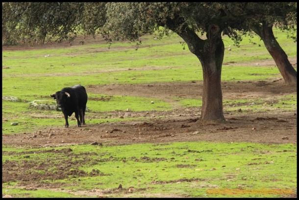 Toro bajo un árbol (4-12-2014)