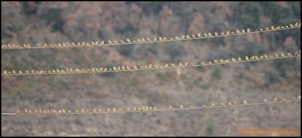 Parte de los gorriones chillones (4-1-2015)