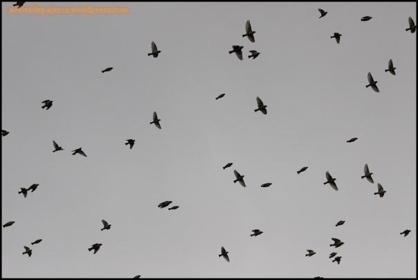 Gorriones chillones en vuelo (4-1-2015)
