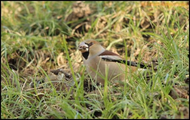 Picogordo comiendo semillas (5-1-2015)