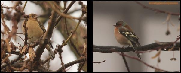 Pinzón vulgar hembra a la izquierda y macho a la derecha (10-1-2015)