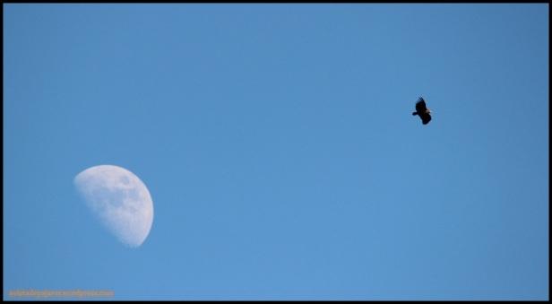 Buitre negro en vuelo (28-1-2015)