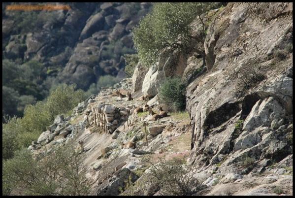 Cabras montesas (27-1-2015)