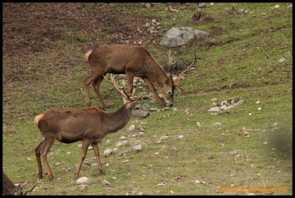 Pareja de ciervos (22-1-2015)