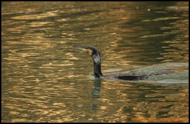 Cormorán nadando en la superficie (20-2-2015)