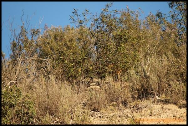 Lince detrás del arbusto (25-1-2015)