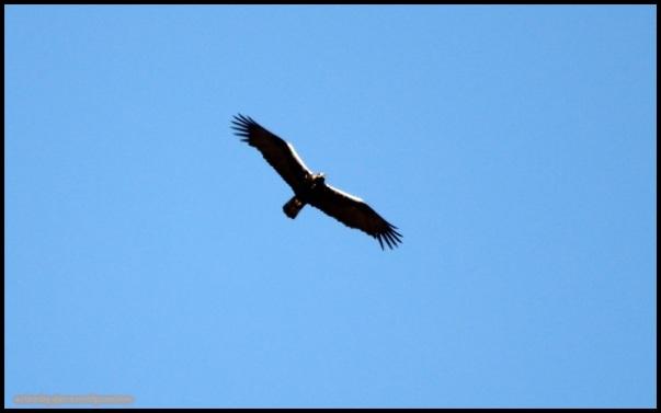 Águila imperial (26-1-2015)
