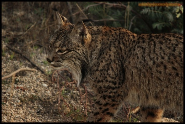 Lince (29-1-2015)