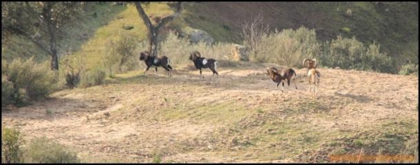 Muflones caminando (24-1-2015)