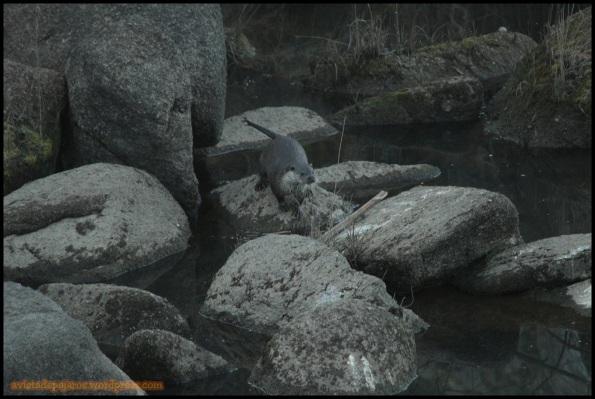 Nutria en las rocas (26-1-2015)