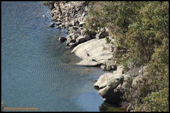 Nutria por el río (27-1-2015)