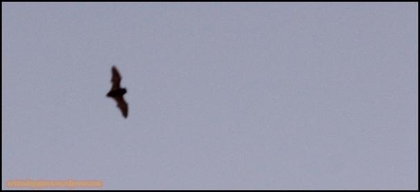 Murciélago en vuelo (6-3-2015)