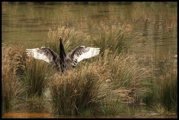 Cisne negro batiendo las alas (19-3-2015)