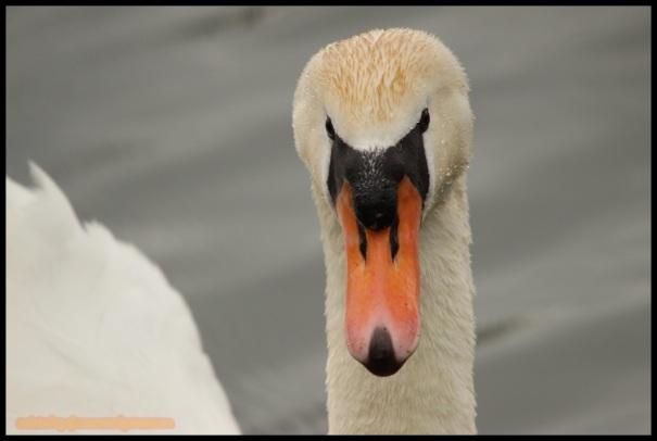 Retrato del macho de cisne (19-3-2015)