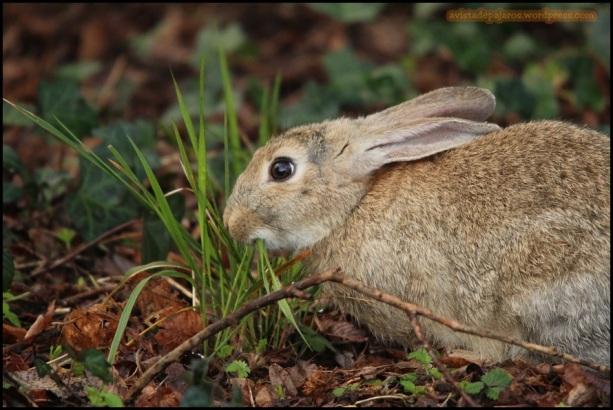 Conejo comiendo (19-3-2015)