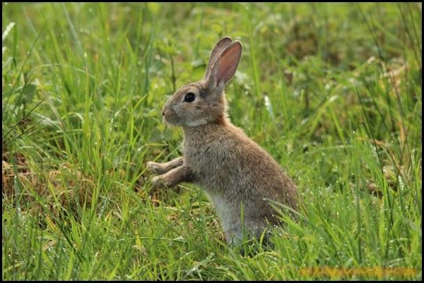 Conejo erguido a dos patas (19-3-2015)