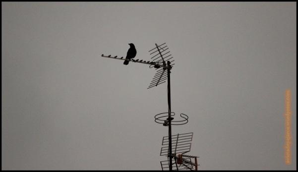 Corneja en una antena (2-3-2015)
