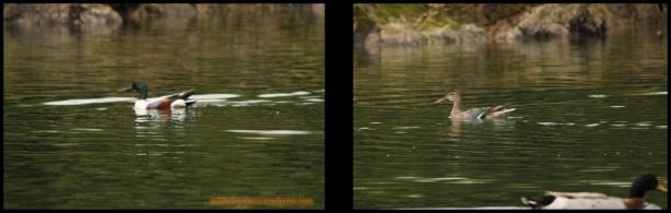 Cucaharas nadando, macho a la izquierda y hembra a la derecha (2-3-2015)