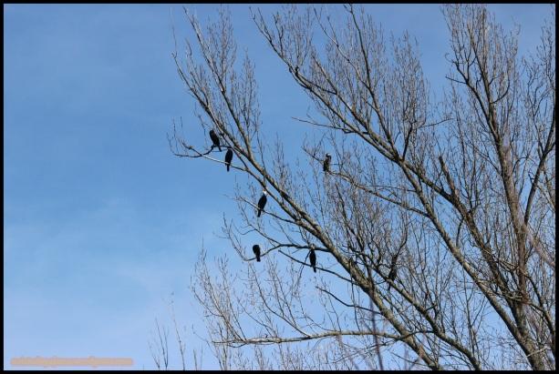 Grupo de cormoranes posados en arbolado (7-3-2015)