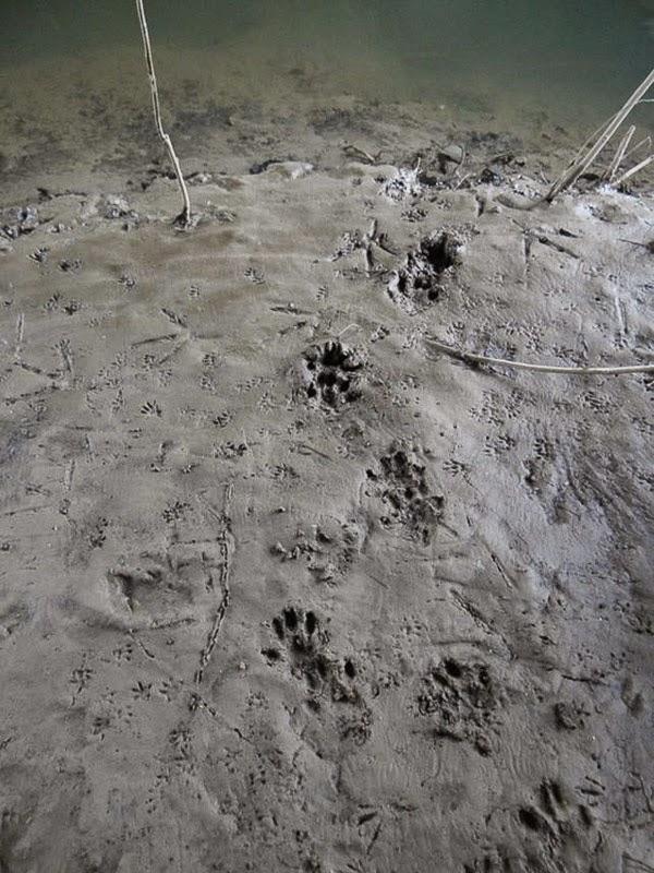 Rastros de nutria. Una nutria entra al agua al trote corto o al paso largo. La mayoría de las huellas traseras se superponen en grado variable sobre las delanteras