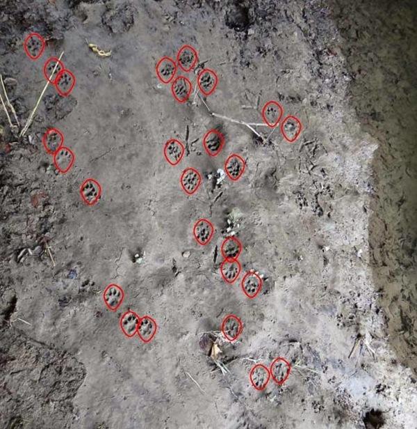 Rastros de nutrias. Las marcas rojas muestran los rastros de un ejemplar sobre el barro, aunque podrían ser de varios ejemplares en momentos diferentes.
