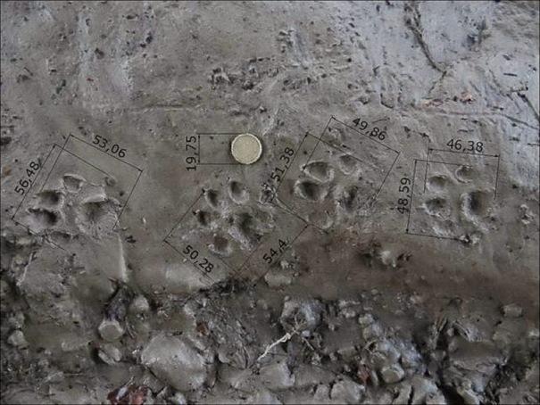 Serie de huellas de nutria con sus dimensiones. Las extremidades posteriores deberían ser la segunda y la cuarta de izquierda a derecha pero aquí no se ve toda la planta en las extremidades posteriores.