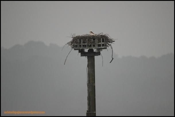 Cigüeña en su nido (20-3-2015)