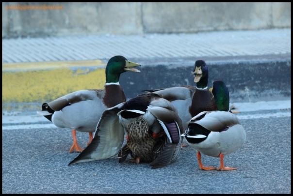 Ánades copulando en medio de la carretera (8-4-2015)